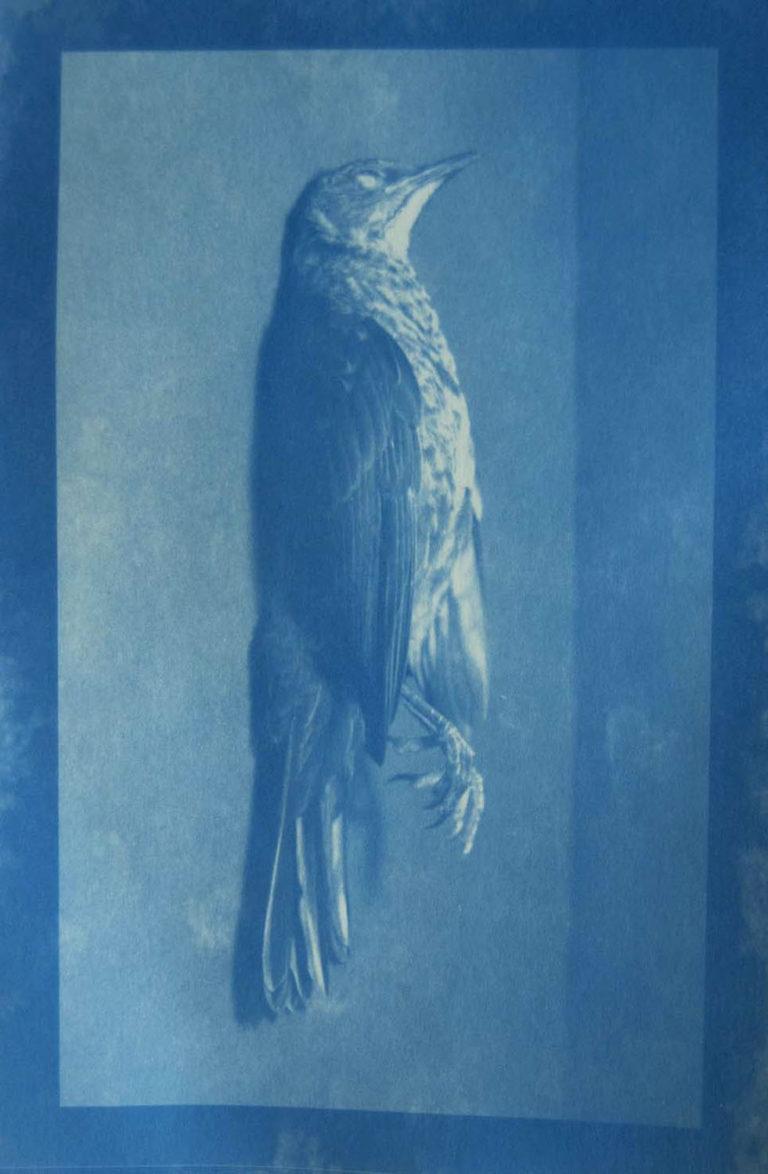 Blackbird - Cyanotype